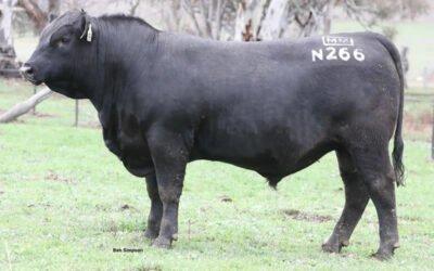 Nugget N266